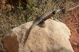 Collared Lizard5555