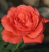 Donald Tusa - Sunny Rose